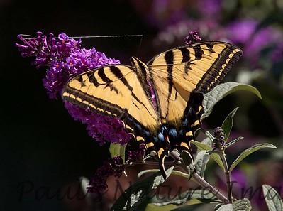 WestTigerSwallowtail BkYrd_IMG-1517294508-O