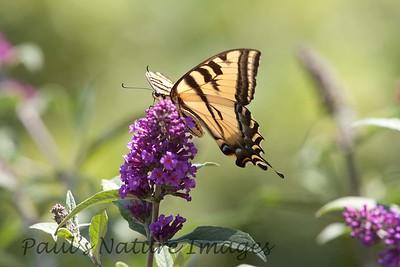 WestTigerSwallowtail BkYrd_IMG-1517297316-O