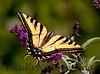 WestTigerSwallowtail BkYrd_IMG-1517296190-O