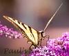 WesternSwalowtail_BkYrd_09-06--601380317-O