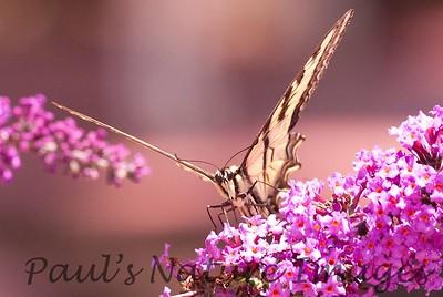 WesternSwalowtail_BkYrd_09-06--601380193-O