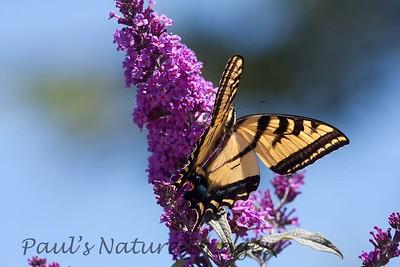 WestTigerSwallowtail BkYrd_IMG-1517297625-O