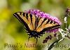 WestTigerSwallowtail BkYrd_IMG-1517295095-O