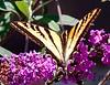 WesternSwalowtail_BkYrd_09-06--601380034-O