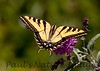 WestTigerSwallowtail BkYrd_IMG-1517295823-O