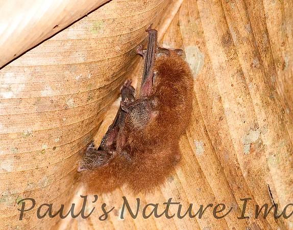 disc-wing bat_00-01-01_0004_00-546284915-O