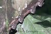 bats longnosed (1)-01-529273143-O