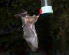 Bats_14-10-11_IMG_8484