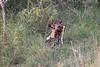 WildDog Kirkman_14-03-16__O6B2507
