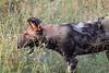 WildDog Kirkman_14-03-16__O6B2445