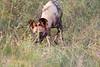 WildDog Kirkman_14-03-16__O6B2494