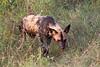 WildDog Kirkman_14-03-16__O6B2495