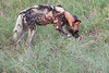 WildDog Kirkman_14-03-16__O6B2514