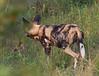 WildDog Kirkman_14-03-16__O6B2464