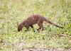 BandedMongoose Chobe_14-03-08__O6B1642