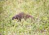 BandedMongoose Chobe_14-03-08__O6B1639