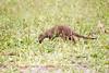 BandedMongoose Chobe_14-03-08__O6B1640