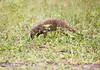 BandedMongoose Chobe_14-03-08__O6B1641