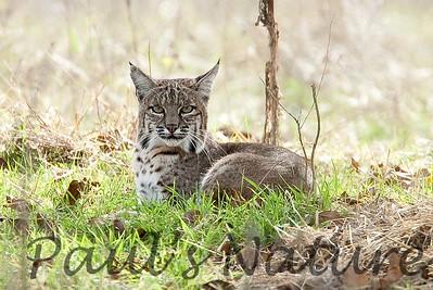 Bobcat CanadaLarga_7I2B4754_09-733539324-O