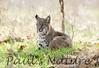 Bobcat CanadaLarga_7I2B4753_09-733539186-O