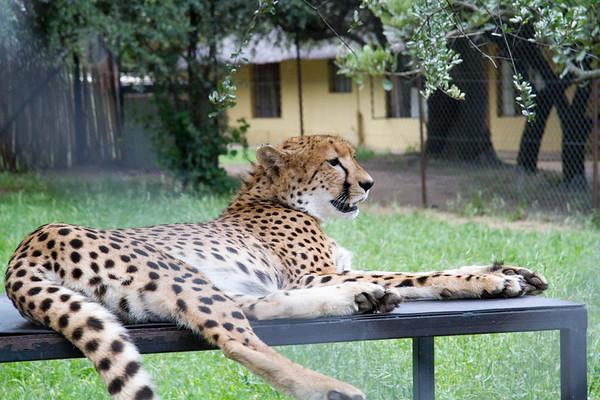 Cheetah Mohololo_14-02-28_IMG_6117