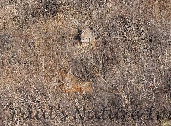 Coyote CLU_08_11_29_2030_46_08-545373531-O