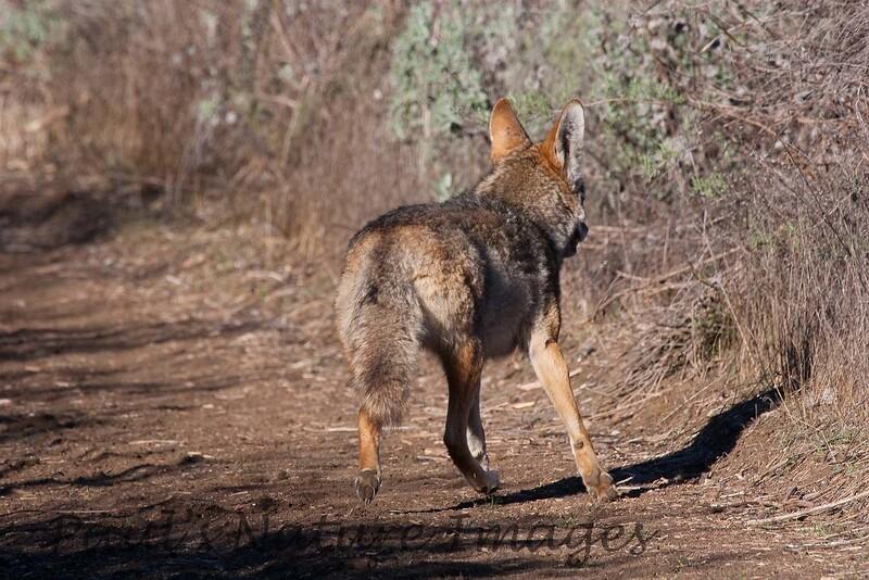 Coyote_B (1)_060121_77-545373568-O