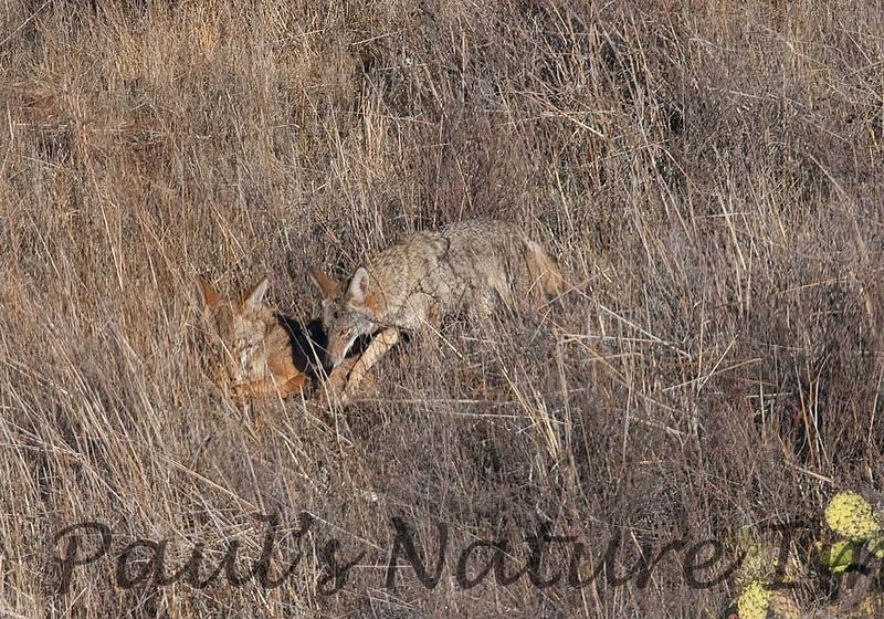 Coyote CLU_08_11_29_2032_48_08-545373543-O