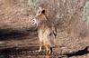 Coyote CLU_2_01-21-06_060121_7-545373516-O