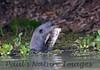GiantOtter Pantanal_7I2B0146_1-1085710998-O