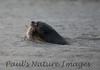 GiantOtter Pantanal_7I2B0091_1-1085093903-O