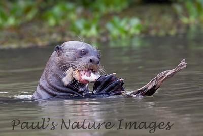 GiantOtter Pantanal_7I2B0169_1-1085712942-O