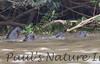 GiantOtter Pantanal_7I2B9911_1-1085713252-O