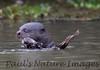 GiantOtter Pantanal_7I2B0163_1-1085711785-O