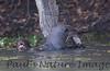 GiantOtter Pantanal_7I2B0115_1-1085094330-O