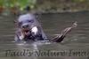 GiantOtter Pantanal_7I2B0165_1-1085712034-O