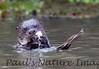 GiantOtter Pantanal_7I2B0164_1-1085711910-O