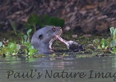 GiantOtter Pantanal_7I2B0135_1-1085709302-O