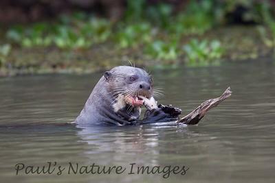 GiantOtter Pantanal_7I2B0167_1-1085712428-O