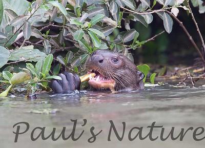 GiantOtter Pantanal_7I2B9942_1-1085713509-O