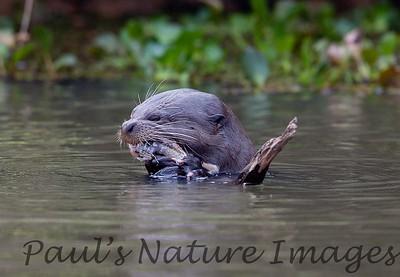 GiantOtter Pantanal_7I2B0160_1-1085711612-O