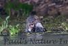 GiantOtter Pantanal_7I2B0142_1-1085709683-O
