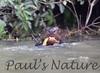 GiantOtter Pantanal_7I2B9938_1-1085713439-O