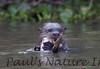 GiantOtter Pantanal_7I2B0155_1-1085711162-O