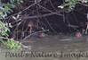 GiantOtter Pantanal_7I2B9927_1-1085713382-O
