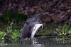 GiantOtter Pantanal_7I2B0145_1-1085710497-O