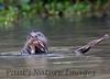 GiantOtter Pantanal_7I2B0175_1-1085713179-O