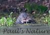 GiantOtter Pantanal_7I2B0130_1-1085708675-O