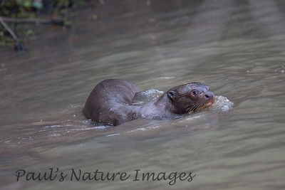 GiantOtter Pantanal_IMG_1966_1-1085714533-O