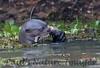 GiantOtter Pantanal_7I2B0126_1-1085708337-O